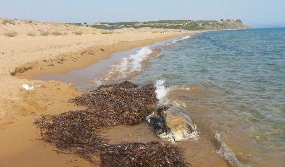 Carcassa di animale sulla spiaggia di Triscina, vicino l'Acropoli
