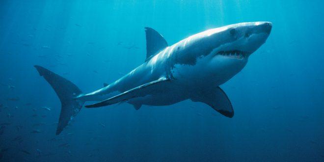 Il grande squalo bianco, re del mare