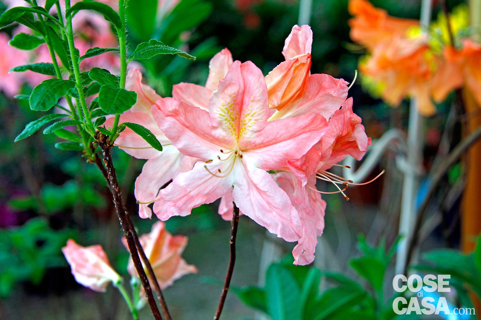 Azalea japonica – Azalea sempreverde da esterno