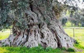 Adonis, l'albero più longevo d'Europa