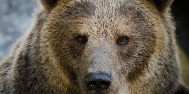 L'orso bruno, gigante da rispettare