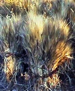 In toscana, a giugno, si viveva il periodo della mietitura del grano