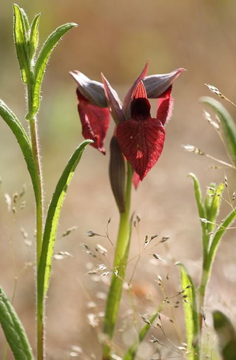 Le orchidee del bosco del Sasseto di Torre Alfina e della Riserva Naturale Monte Rufeno