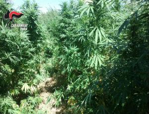 Centuripe. Arrestati due allevatori gestivano piantagione di marijuana con piante fino a 2 metri –...