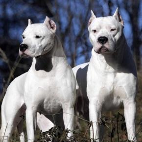 Copia di Dogo Argentino sbrana un bimbo di un anno e mezzo