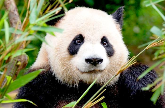 IUCN: il panda gigante non è più una specie a rischio